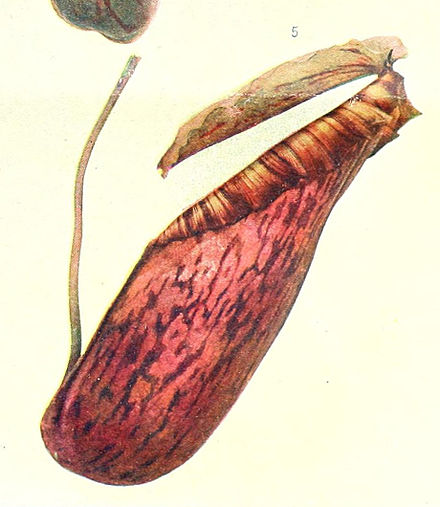 440px-Nepenthes_northiana_pulchra.jpg
