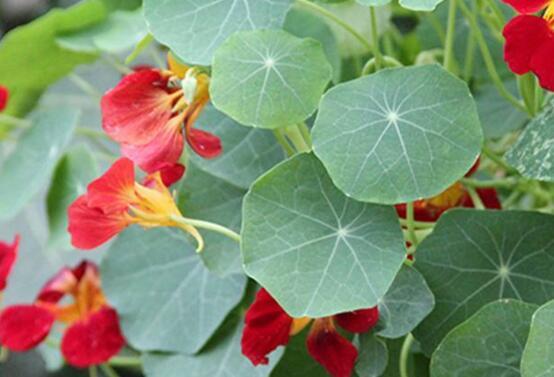 旱金莲的养殖方法和注意事项,旱金莲的花语