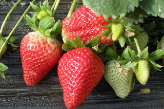 草莓几月份种植最好,孕妇能吃草莓吗