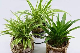 吊兰根的功效与作用,吊兰的养殖作用