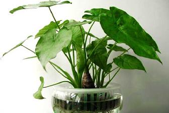 可长期养的水培植物,滴水观音有毒吗
