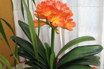 君子兰什么时候开花,君子兰缺水症状