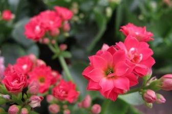 扶桑花的养殖方法是什么,注意事项是什么