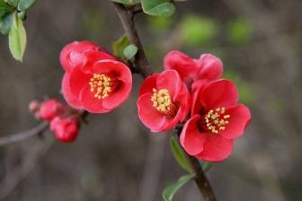 海棠花养殖方法是什么,有哪些注意事项