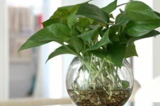 大叶绿萝能水养吗_白醋泡蛋壳浇绿萝比例 - 四季盆栽